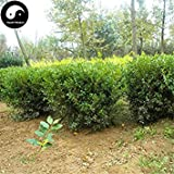 Vista Buy Common Boxwood Tree Seeds 30pcs Plant Populus Simonii Tree for Buxus Sinica