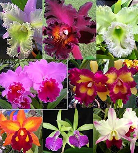 V Madame Ruttana /'Sampran Brown/' Cattleya Orchid Plant 3 Inch Pot BIN