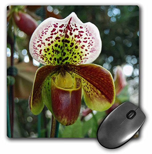 Orchid Photograph - 3dRose 8 X 8 X 0.25 Beautiful Lady Slipper Orchid Close Up Photograph Mouse Pad (mp_113909_1)