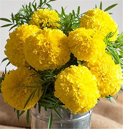 Hybrid Marigold Golden Yellow Giant Flower 100 Seeds