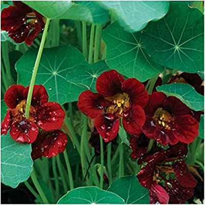 Seed Needs, Black Velvet Nasturtium (Tropaeolum Minus) Twin Pack of 110 Seeds Each : Garden & Outdoor