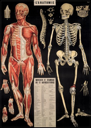 Anatomie poster the best Amazon price in SaveMoney.es