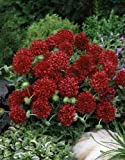 30+ GAILLARDIA PLUME RED FLOWER SEEDS / RARELY OFFERED PERENNIAL