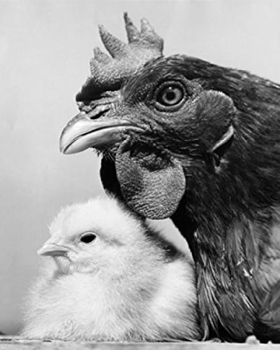 Buy posterazzi hen with its chick poster print 18 x 24