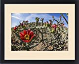 Framed Print of Flowering cholla cactus (Cylindropuntia spp), in the Sweetwater Preserve, Tucson
