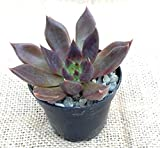 "ECHEVERIA AFFINIS ""BLACK PRINCE"" OR ""BLACK KNIGHT"" 2 1/4 INCH SUCCULENT PLANT"