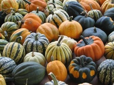 David's Garden Seeds Squash Winter Autumn Mix Acorn DSVSQU141DSA (Multi) 50 Heirloom Seeds