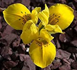20 Bulbs of Iris Reticulata (Size 5, Danfordiae)