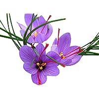 10 Jumbo Saffron Crocus - Crocus Sativus Corms Bulbs - 9-10 cm - Holland