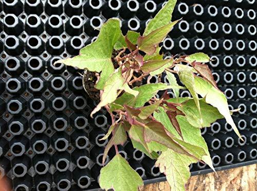 Ipomoea Sweet Potato Vine Tricolor 6 Live Starter Plants - Plugs Home Garden