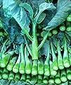 Chinese Broccoli-1000 Seeds, Kai Lan, Gai Lan, Brassica Alboglabra, Open Pollinated