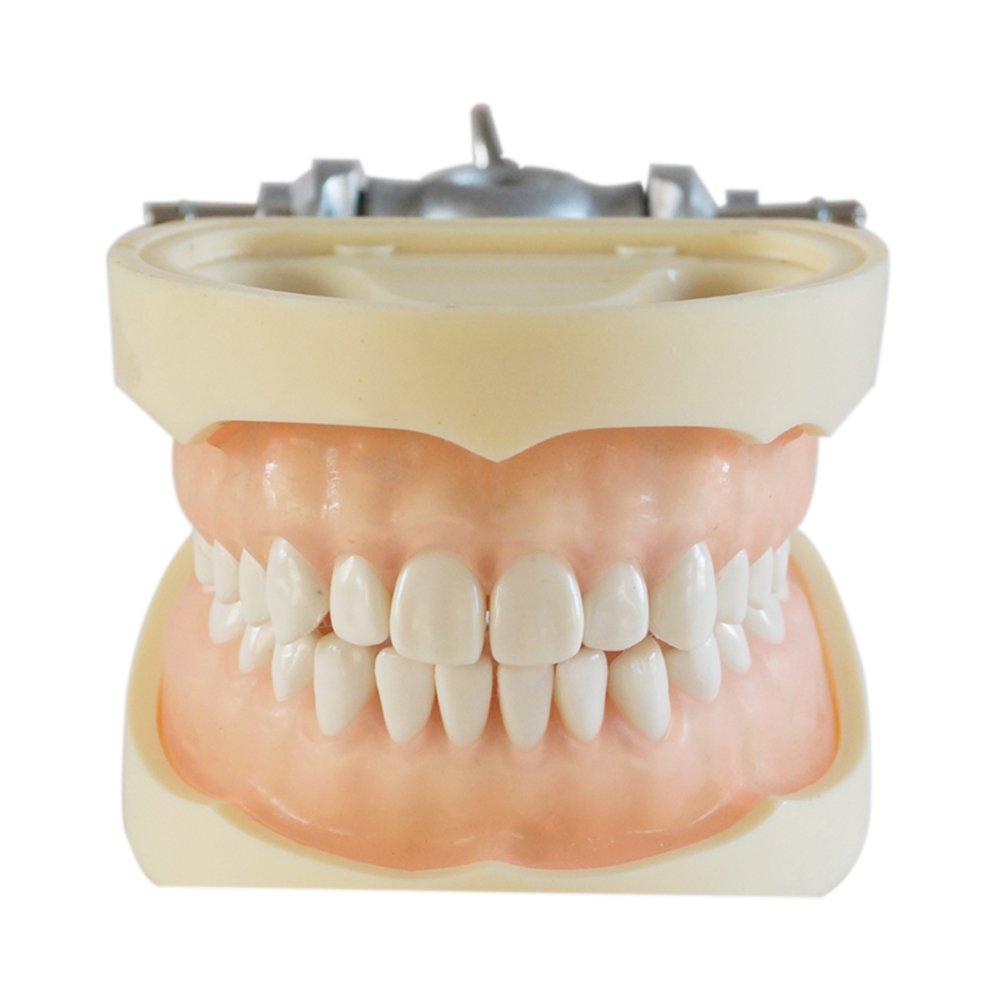 Soft Gum 28pcs Teeth Standard Jaw Model - Medical Science Educational Dental Teaching Models