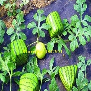 ASTONISH SEEDS: Gran venta: Paquete original 30 semillas / pack, semillas de frutas Agua Pot n, semilla watern belleza, semilla Watern: Amazon.es: Alimentación y bebidas