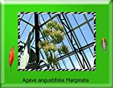 Agave angustifolia marginata photography 2017