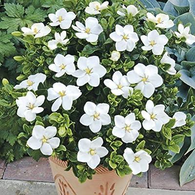 Gardenia Kleims Hardy Plants Set Of 3 Amazon Co Uk Garden Outdoors