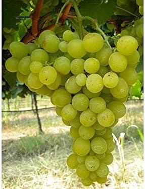 1 planta de uva reina de los viñedos época de maduración de julio a agosto.: Amazon.es: Jardín