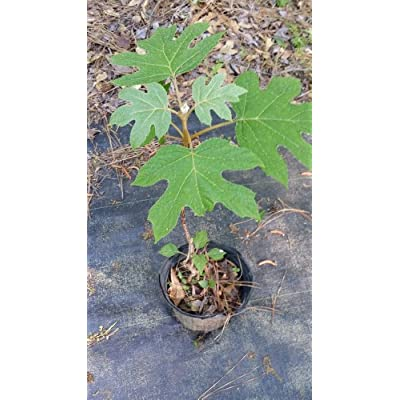 (1 Gallon) Alice Oakleaf Hydrangea, Native Plant, Huge Oak Like Leaf, Grand White Cone panicles : Garden & Outdoor