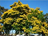 Yellow Poinciana Peltophorum Pterocarpum Organic 10 Seeds GBP 001