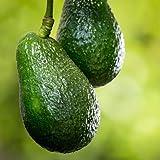 Day Avocado Tree