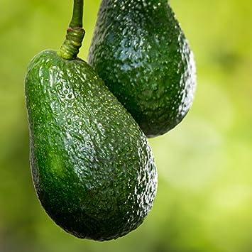 Amazoncom Day Avocado Tree The Most Popular Indoor Avocado Tree