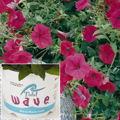 Petunia - Tidal Wave Cherry - Great for Containers and Landscape - Flower Seeds (Cherry Stem Hedge)