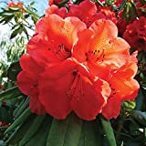 Thompson & Morgan Hardy Perennial Rhododendron 'Geisha Orange' Evergreen Flowering Dwarf Shrub, Potted Garden Plants Ideal for Cottage Gardens, Patio and Containers (1 x 9cm Pot)