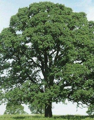 (5 Oak Trees Diamond Swamp Laurel Quercus LAURIFOLIA SAPLINGS SEEDLINGS Acorns)