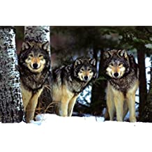 Wolves (Three Wolves in Snow) Art Poster Print - 24x36