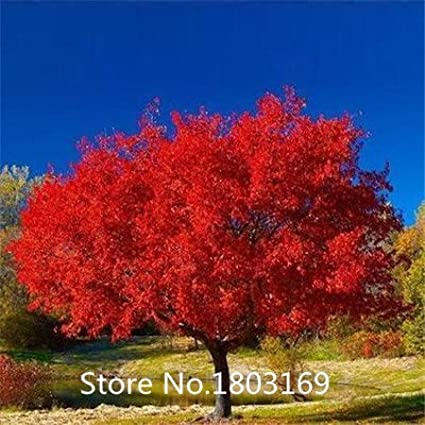 50 seeds JAPANESE Acer PALMATUM DISSECTUM red Maple Tree Seeds Bonsai