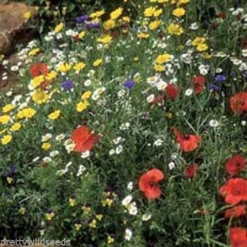 100g WILDFLOWER CORNFIELD MEADOW SEEDS 70/30 WILD FLOWER PACK MIX 92 UK SEED Fresh seeds