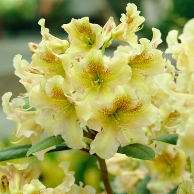 Yellow Rhododendron Shrubs - Huge Yellow Blooms The First Year! - 3 Gallon