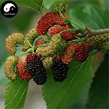 Shoppy Star Germination Seeds: 100pcs: Buy Mulberry Tree Seeds Plant Chinese Fructus Mori for Fruits Sang Shen