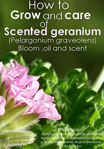 (How to Grow and care of Sweet Scented geranium :  Bloom ,oil and the scent)
