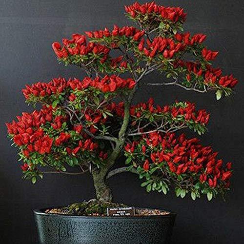 longdelaY6 Red Chili Seeds,100Pcs Red Trinidad Moruga Scorpion Chilli Pepper Seeds Bonsai Vegetable Plants 100pcs