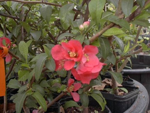 Chaenomeles Japonica Red Flowering Quince Old Timey Tree Plant Shrub Cannot Ship to CA, AZ, AK, HI, OR or WA PER State Laws - Flowering Quince Fruit