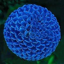 Unique Blue Fireball Dahlia Seeds Beautiful Flower Seeds Perennial Plant Dahlia Seeds