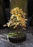 Flowering Dwarf Hibiscus Tree by Sheryls Shop