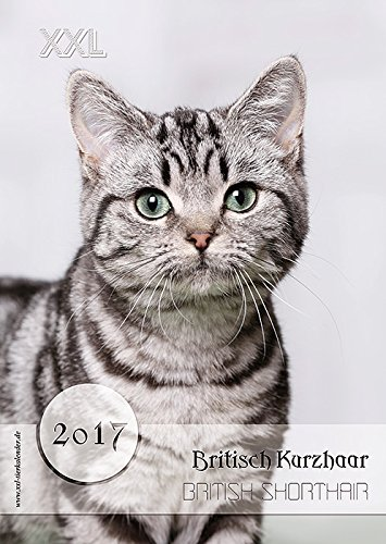XXL Británico de Pelo Corto gato atigrado Calendario 2017 ...