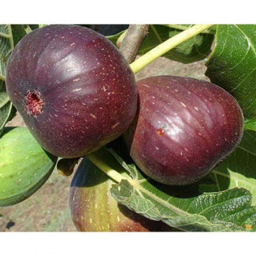 2 Fig Plants Live Tree Brown Turkey Mission Fruit Plant Well Rooted and Sturdy by SS0144