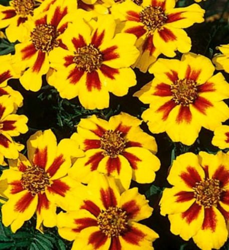 dwarf marigold seeds