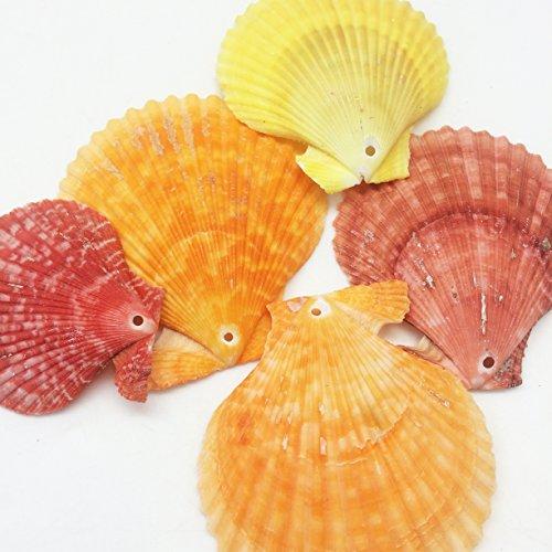 PEPPERLONELY 12 PC Drilled Pecten Nobilis Sea Shells, 2-1/2 Inch ~ 3-1/2 Inch