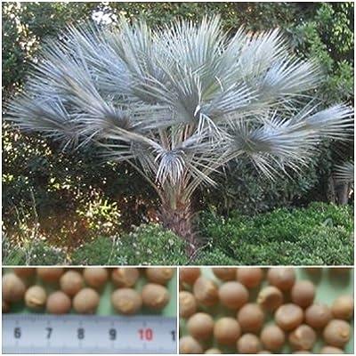 Brahea armata- 25 seeds - Blue Hesperides palm -hardy!