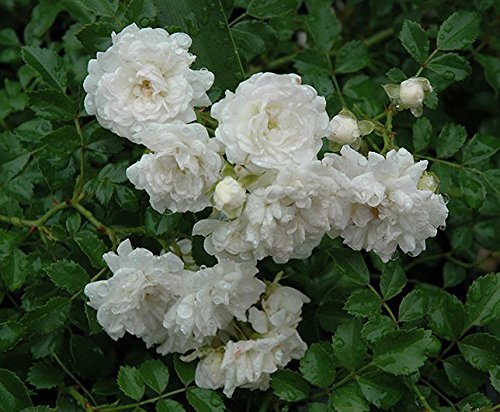 Icy White Drift Groundcover Rose - Live Plant - Full Gallon Pot by New Life Nursery & Garden (Image #1)