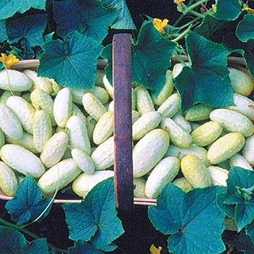 Miniature White Cucumber 25 Seeds - Sweet Pickler