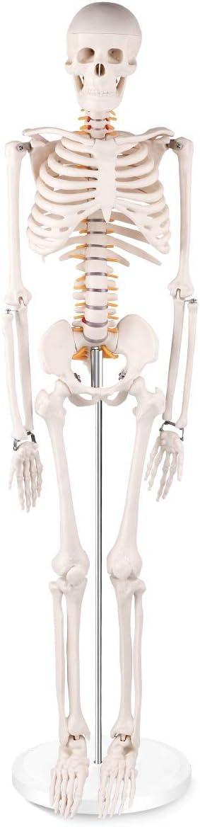 Modelo del Esqueleto Humano Nervio Tamaño médica anatómica Esqueleto Vida Display desarticulado Soporte Ruedas Cubierta de Polvo Maestros educadores de Clases (34
