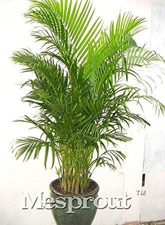 Amazon.com: 10 semillas Japans hawaiano Árbol de Coco ...