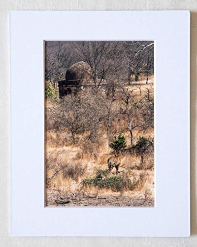 Forest Landscape 'Camouflage' - Tiger In Ranthambhore Wildlife Sanctuary In Rajasthan, India - Matted 5