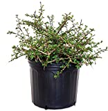 Cotoneaster apiculatus (Cranberry Cotoneaster) Shrub, 2 - Size Container