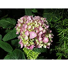 Hydrangea in an early stage to bloom