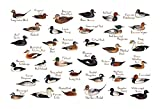 Ducks of North America Field Guide Art Print